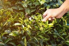 Folhas de chá da colheita do homem Escolhendo a ponta da folha de chá verde pela mão humana no monte da plantação de chá durante  Foto de Stock