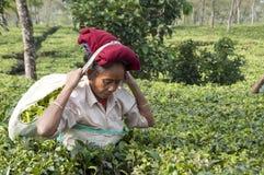 Folhas de chá da colheita do trabalhador de mulher no jardim de chá Fotos de Stock Royalty Free