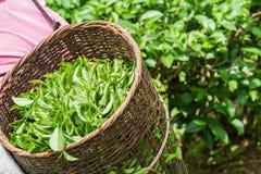 Folhas de chá da colheita do trabalhador do chá fotografia de stock