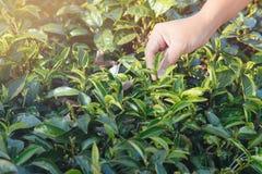 Folhas de chá da colheita Escolhendo a ponta da folha de chá verde pela mão humana no monte da plantação de chá durante o amanhec imagens de stock