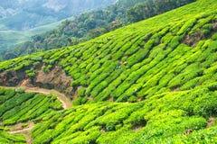 Folhas de chá da colheita na propriedade do chá de Kolukkumalai, Munnar, Kerala, Índia fotografia de stock royalty free