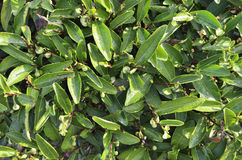 Folhas de chá da rocha de Wuyi Fotos de Stock