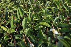 Folhas de chá da rocha de Wuyi Foto de Stock