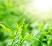 Folhas de chá em uma plantação imagem de stock