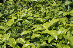 Folhas de chá fechados-acima na plantação de chá em Cameron Highlands, Malásia foto de stock