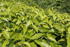 Folhas de chá fechados-acima na plantação de chá em Cameron Highlands, Malásia Fotos de Stock