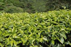 Folhas de chá fechados-acima na plantação de chá em Cameron Highlands, Malásia Fotografia de Stock Royalty Free