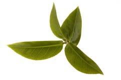 Folhas de chá frescas Foto de Stock