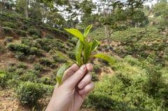 Folhas de chá frescas Imagens de Stock Royalty Free