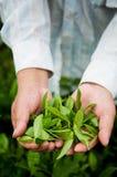 Folhas de chá frescas fotos de stock royalty free