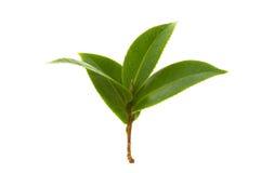 Folhas de chá frescas Fotografia de Stock Royalty Free