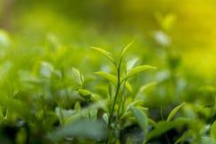 Folhas de chá frescas e macias Foto de Stock