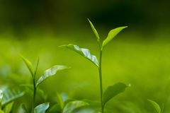 Folhas de chá frescas e macias no jardim fresco Fotografia de Stock