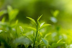 Folhas de chá frescas e macias no jardim fresco Foto de Stock Royalty Free