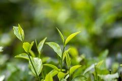 Folhas de chá frescas e macias no jardim fresco Fotos de Stock Royalty Free