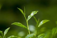 Folhas de chá frescas e macias no jardim fresco Imagens de Stock