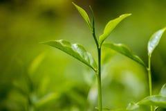 Folhas de chá frescas e macias no jardim fresco Foto de Stock