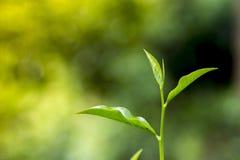 Folhas de chá frescas e macias no jardim fresco Imagem de Stock