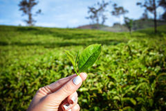 Folhas de chá frescas em plantações imagens de stock