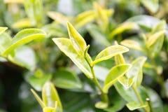 Folhas de chá frescas na chuva Fotos de Stock