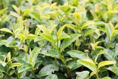 Folhas de chá molhadas na chuva com brotar novo das folhas Fotos de Stock
