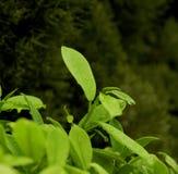Folhas de chá na chuva Imagens de Stock Royalty Free