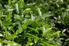 Folhas de chá na plantação Coonor, Nilgiri, Índia, Tamil Nadu Fotos de Stock Royalty Free