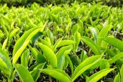 Folhas de chá na plantação de chá - Cameron Highlands Imagem de Stock Royalty Free