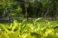 Folhas de chá no jardim fresco Foto de Stock