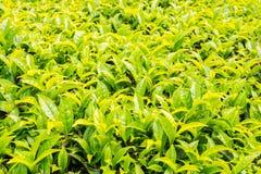 Folhas de chá novas na plantação de chá em Munnar, Índia Fotografia de Stock Royalty Free
