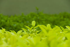 Folhas de chá orgânicas Imagens de Stock Royalty Free
