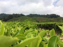 Folhas de chá verde Fotografia de Stock Royalty Free