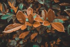 Folhas de chá verdes na plantação do verde-chá da ilha de Jeju, Coreia do Sul Foto de Stock