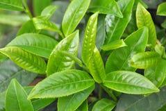 Folhas de chá verde Foto de Stock