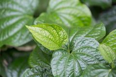 Folhas de Chaplo foto de stock