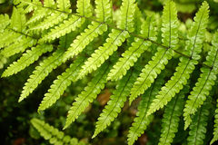 Folhas de conexão em cascata do fern. Imagem de Stock