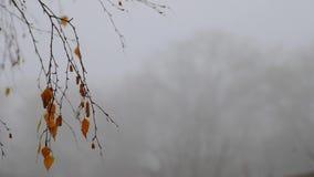 Folhas de desvanecimento do vidoeiro e um brinco do fruto com gotas da chuva no fundo da névoa video estoque
