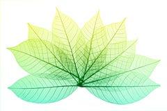 Folhas de esqueleto Fotos de Stock