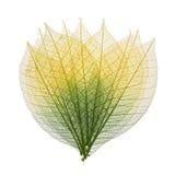 Folhas de esqueleto fotografia de stock