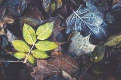 Folhas de Frost Imagem de Stock