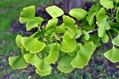 Folhas de GInko BIloba Fotografia de Stock