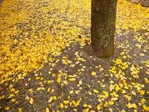 Folhas de Ginko na terra Fotos de Stock Royalty Free