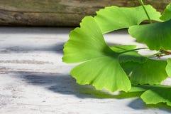 Folhas de Ginko ou biloba da nogueira-do-Japão usado para tratar a circulação sanguínea, a memória, a fadiga, o tinnitus e a doen imagem de stock