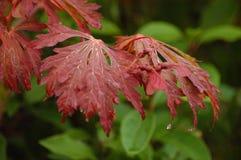Folhas de gotejamento Imagem de Stock