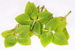 Folhas de hortelã Foto de Stock Royalty Free