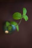 Folhas de hortelã Fotografia de Stock