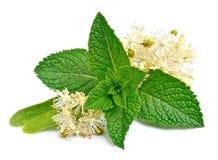 Folhas de hortelã e flores do Linden Imagem de Stock