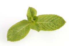 Folhas de hortelã fresca Imagem de Stock