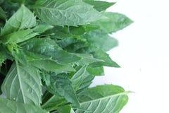 Folhas de hortelã fresca que encontram-se no fundo branco imagens de stock