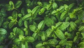 Folhas de hortelã frescas textura, fundo ou papel de parede da pimenta verde Fotos de Stock